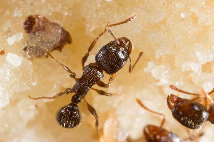 Petite fourmi des pavé