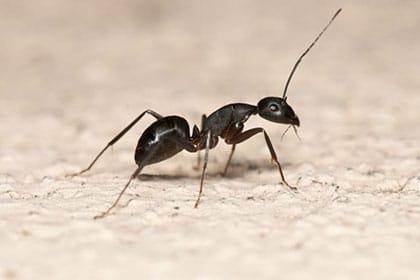 fourmis-charpentiere-moyenne-extermination