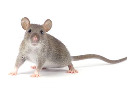 5-raisons-exterminer-les-souris-dans-votre-maison-thumbnail
