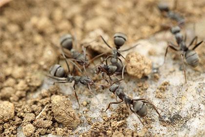 les-fourmis-de-sable-ces-colocataires-indesirables