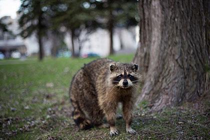 raton-laveur-capture-animaux-brisebois-extermination-thumbnail