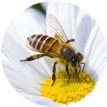 extermination d'insectes abeille sur une fleur