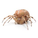 Araignée domestique