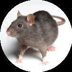 Rat gris d'égout