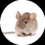 exterminateur rongeurs - souris