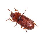 Petit insecte brun Tribolium